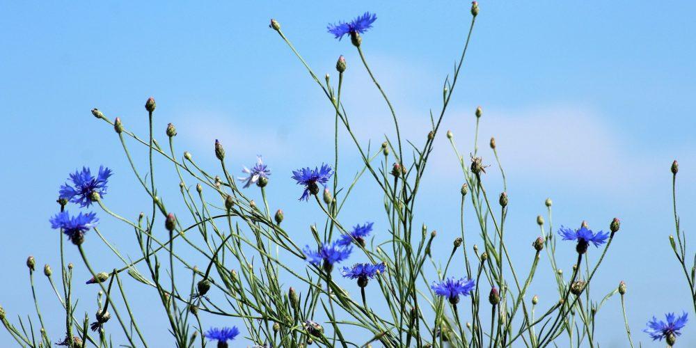 cornflowers-3432162_1920