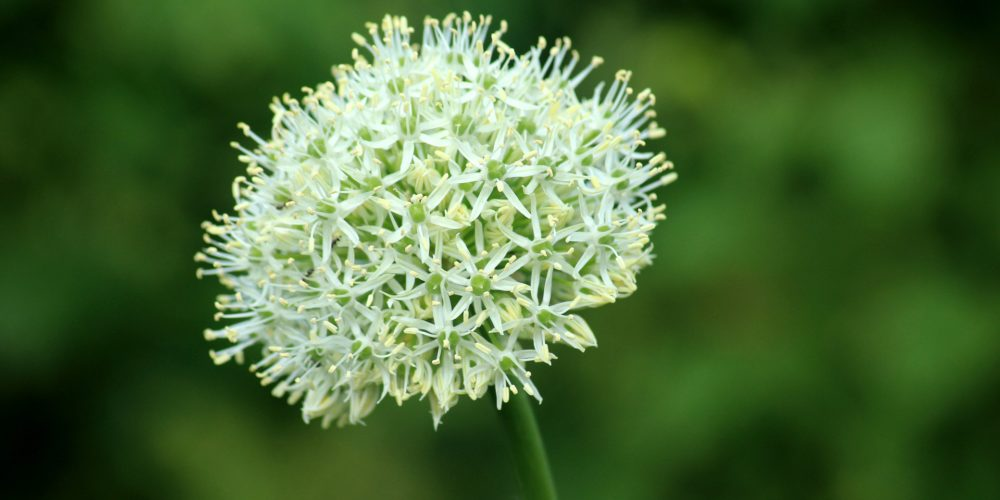 garlic-4220159_1920